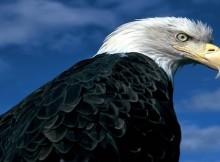 bald eagle rebirth