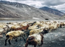 simon-matzinger-herd